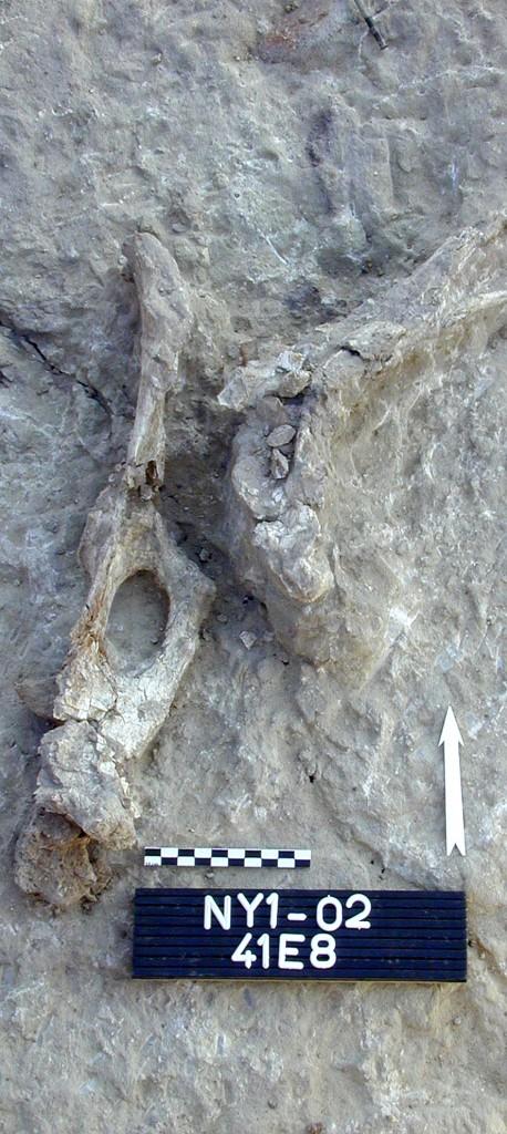 Mise à jour d'un squelette animal © MPK / WTAP